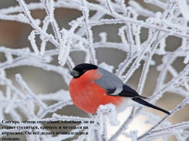 Снегирь –птица спокойная, солидная, он не станет суетиться, кричать и метаться на кормежке. Он всё делает основательно и солидно.