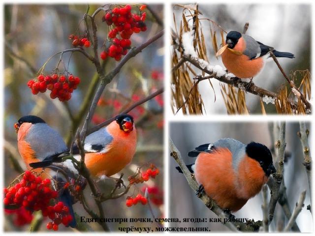 Едят снегири почки, семена, ягоды: как рябину, черёмуху, можжевельник.
