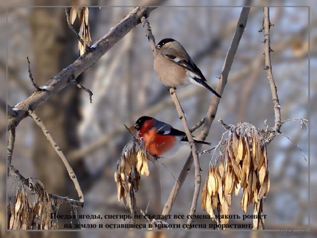 Поедая ягоды, снегирь не съедает все семена, мякоть роняет на землю и оставшиеся в мякоти семена прорастают.