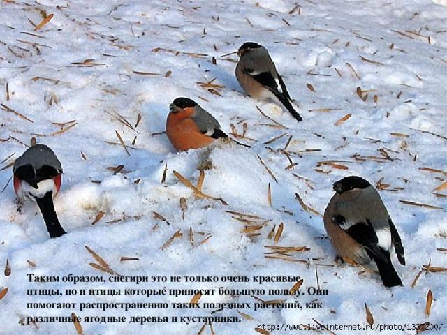 Таким образом, снегири это не только очень красивые птицы, но и птицы которые приносят большую пользу. Они помогают распространению таких полезных растений, как различные ягодные деревья и кустарники.