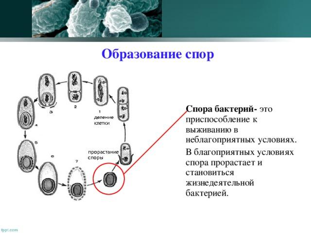 Образование спор  Спора бактерий- это приспособление к выживанию в неблагоприятных условиях.  В благоприятных условиях спора прорастает и становиться жизнедеятельной бактерией.