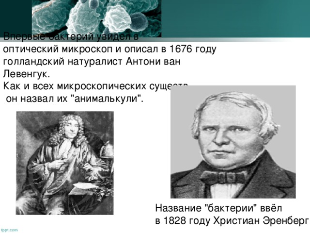 Впервые бактерий увидел в оптический микроскоп и описал в 1676 году голландский натуралист Антони ван Левенгук. Как и всех микроскопических существ,  он назвал их