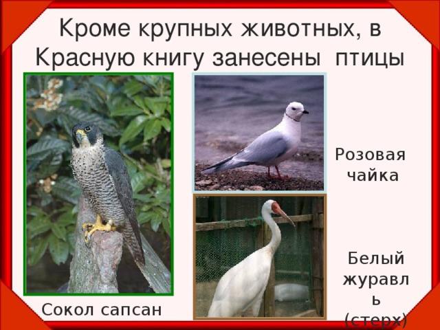 Кроме крупных животных, в Красную книгу занесены птицы Розовая чайка Белый журавль (стерх) Сокол сапсан