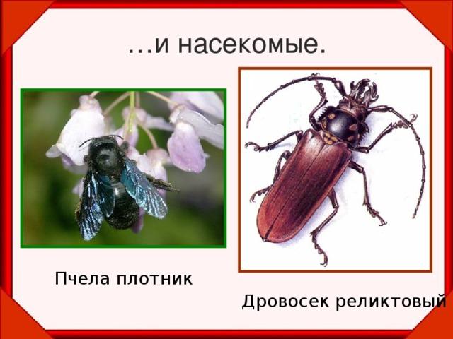 … и насекомые. Пчела плотник Дровосек реликтовый