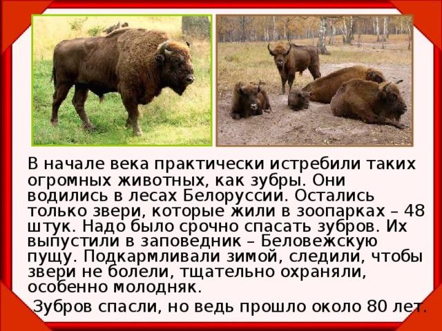 В начале века практически истребили таких огромных животных, как зубры. Они водились в лесах Белоруссии. Остались только звери, которые жили в зоопарках – 48 штук. Надо было срочно спасать зубров. Их выпустили в заповедник – Беловежскую пущу. Подкармливали зимой, следили, чтобы звери не болели, тщательно охраняли, особенно молодняк.   Зубров спасли, но ведь прошло около 80 лет.