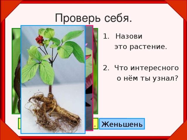 Проверь себя. Назови  это растение. 2. Что интересного  о нём ты узнал? Венерин башмачок. Лотос Женьшень