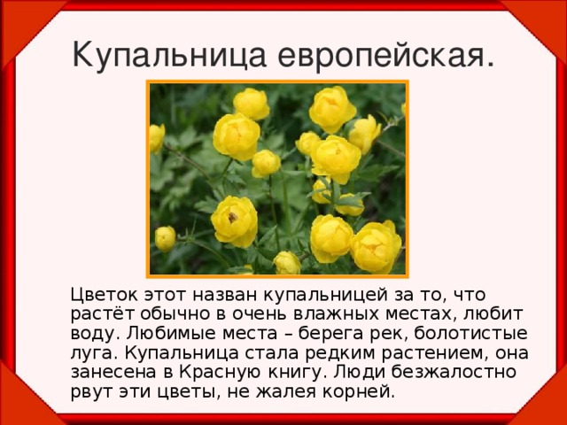 Купальница европейская.  Цветок этот назван купальницей за то, что растёт обычно в очень влажных местах, любит воду. Любимые места – берега рек, болотистые луга. Купальница стала редким растением, она занесена в Красную книгу. Люди безжалостно рвут эти цветы, не жалея корней.