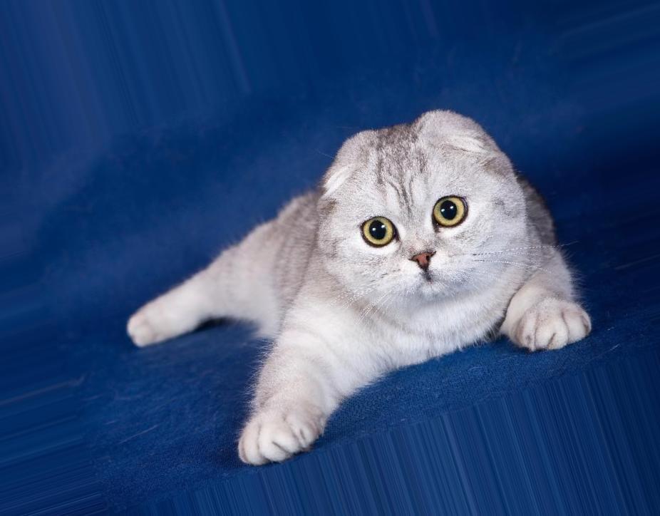 Светло серые вислоухие котята фото