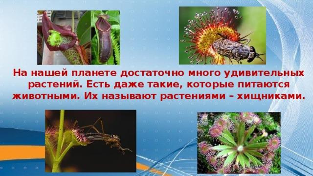 На нашей планете достаточно много удивительных растений. Есть даже такие, которые питаются животными. Их называют растениями – хищниками.