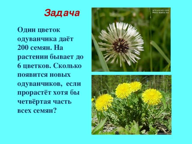 Задача Один цветок одуванчика даёт 200 семян. На растении бывает до 6 цветков. Сколько появится новых одуванчиков, если прорастёт хотя бы четвёртая часть всех семян?