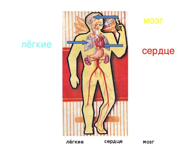 мозг лёгкие сердце сердце лёгкие мозг