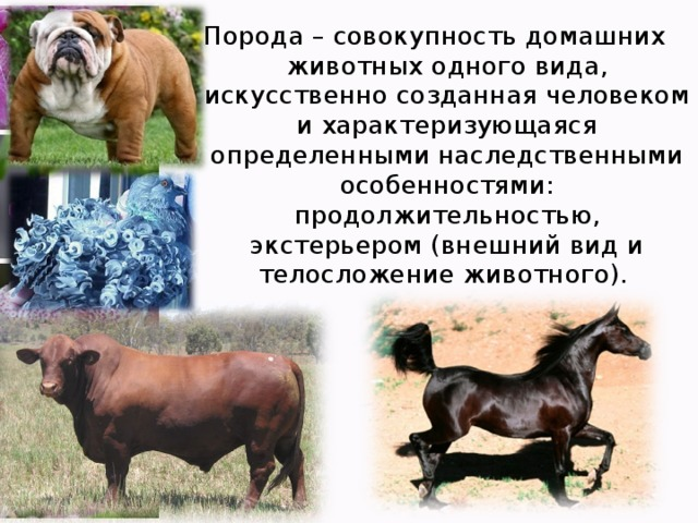 Порода – совокупность домашних животных одного вида, искусственно созданная человеком и характеризующаяся определенными наследственными особенностями: продолжительностью, экстерьером (внешний вид и телосложение животного).