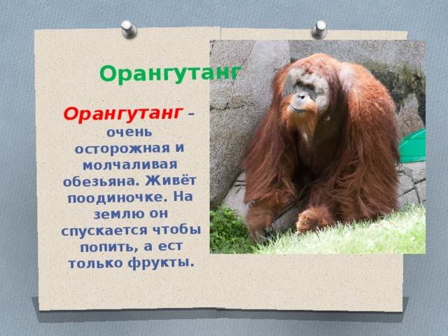 Орангутанг – очень осторожная и молчаливая обезьяна. Живёт поодиночке. На землю он спускается чтобы попить, а ест только фрукты. Орангутанг