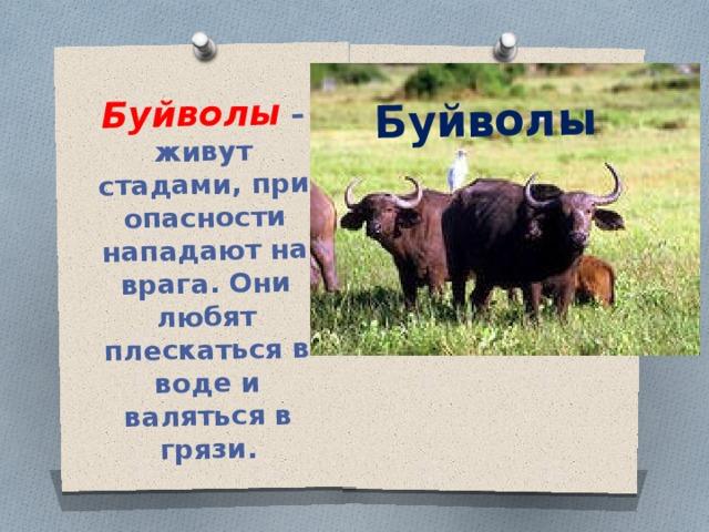 Буйволы – живут стадами, при опасности нападают на врага. Они любят плескаться в воде и валяться в грязи. Буйволы