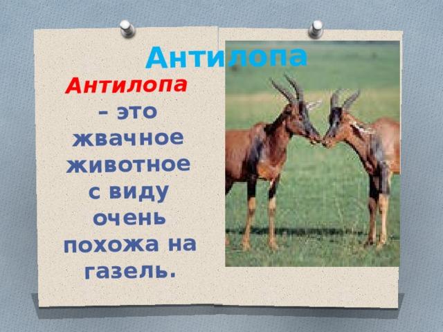 Антилопа – это жвачное животное с виду очень похожа на газель. Антилопа