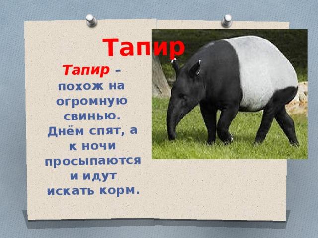 Тапир – похож на огромную свинью. Днём спят, а к ночи просыпаются и идут искать корм. Тапир