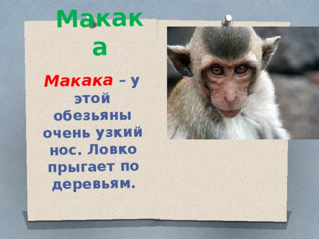 Макака Макака – у этой обезьяны очень узкий нос. Ловко прыгает по деревьям.