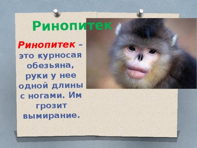 Ринопитек – это курносая обезьяна, руки у нее одной длины с ногами. Им грозит вымирание. Ринопитек
