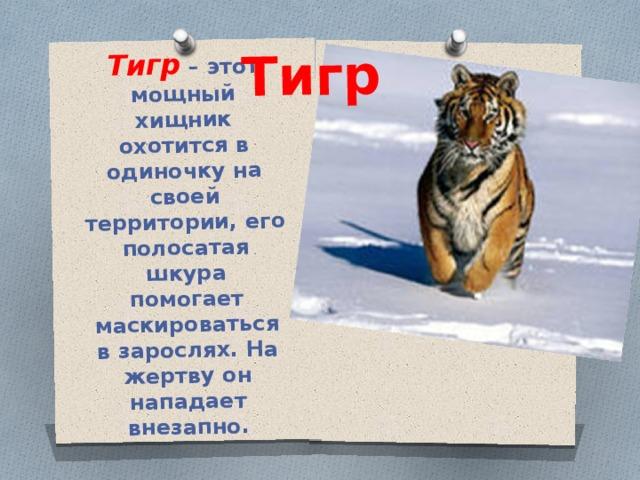 Тигр – этот мощный хищник охотится в одиночку на своей территории, его полосатая шкура помогает маскироваться в зарослях. На жертву он нападает внезапно. Тигр