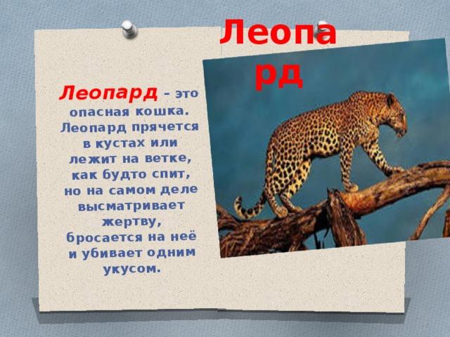 Леопард – это опасная кошка. Леопард прячется в кустах или лежит на ветке, как будто спит, но на самом деле высматривает жертву, бросается на неё и убивает одним укусом. Леопард