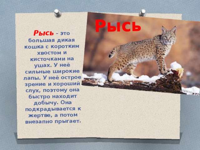 Рысь Рысь – это большая дикая кошка с коротким хвостом и кисточками на ушах. У неё сильные широкие лапы. У неё острое зрение и хороший слух, поэтому она быстро находит добычу. Она подкрадывается к жертве, а потом внезапно прыгает.