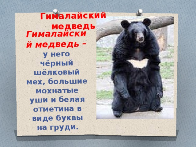 Гималайский медведь – у него чёрный шёлковый мех, большие мохнатые уши и белая отметина в виде буквы на груди. Гималайский медведь