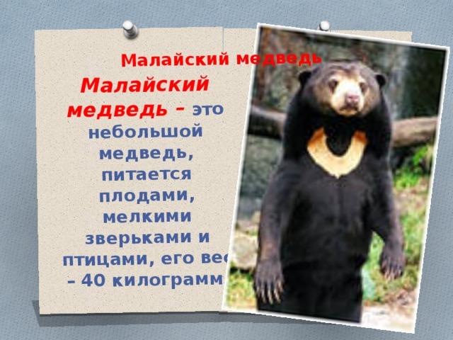 Малайский медведь – это небольшой медведь, питается плодами, мелкими зверьками и птицами, его вес – 40 килограмм. Малайский медведь