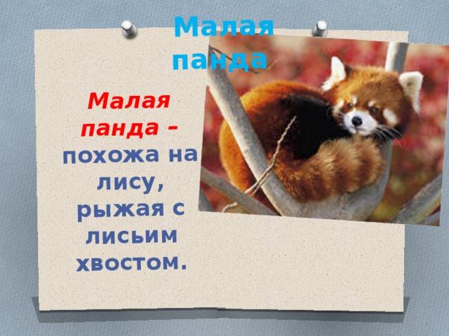 Малая панда – похожа на лису, рыжая с лисьим хвостом. Малая панда