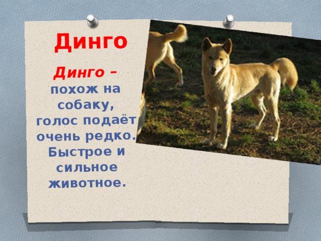 Динго Динго – похож на собаку, голос подаёт очень редко. Быстрое и сильное животное.