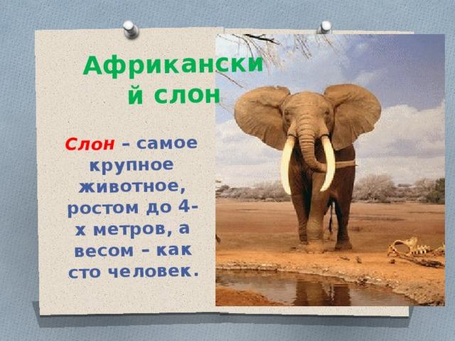 Слон – самое крупное животное, ростом до 4-х метров, а весом – как сто человек. Африканский слон