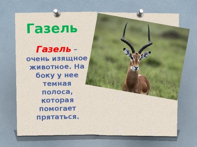 Газель Газель – очень изящное животное. На боку у нее темная полоса, которая помогает прятаться.
