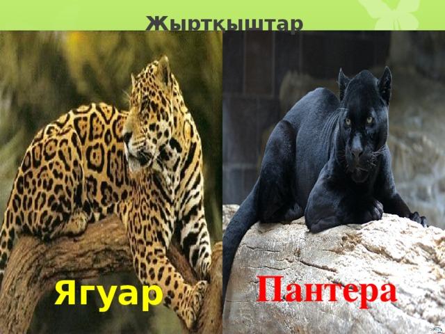 Жыртқыштар Пантера Ягуар