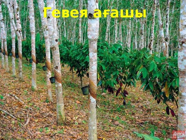 Гевея ағашы