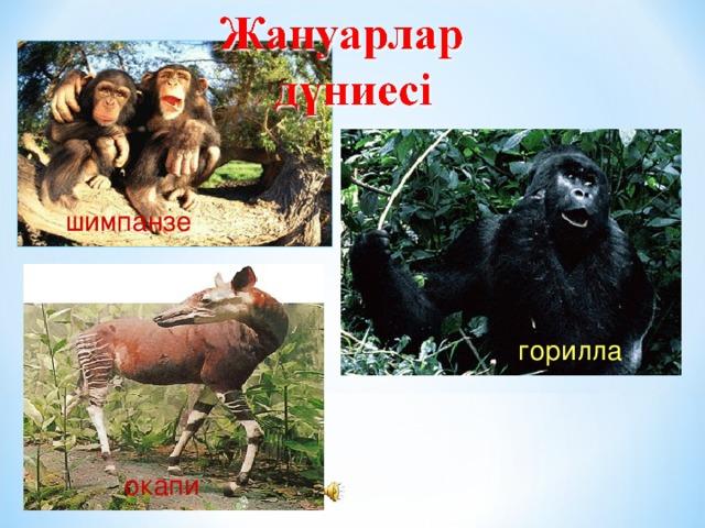 шимпанзе горилла окапи