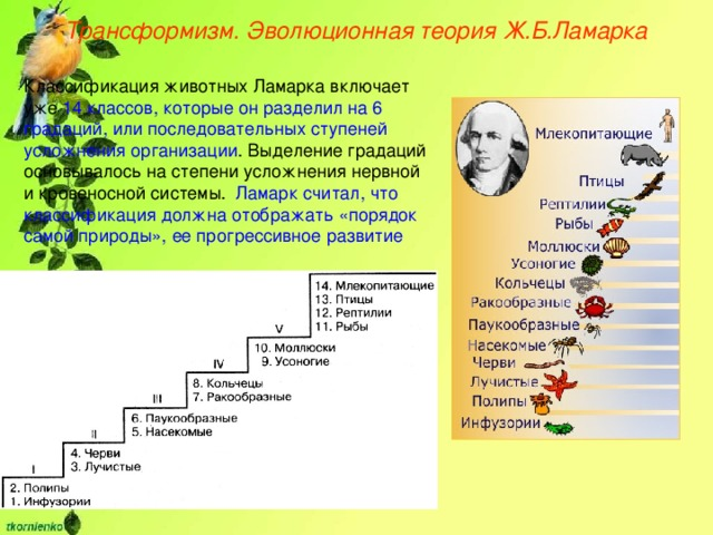 Трансформизм. Эволюционная теория Ж.Б.Ламарка Классификация животных Ламарка включает уже 14 классов, которые он разделил на 6 градаций, или последовательных ступеней усложнения организации . Выделение градаций основывалось на степени усложнения нервной и кровеносной системы. Ламарк считал, что классификация должна отображать «порядок самой природы», ее прогрессивное развитие