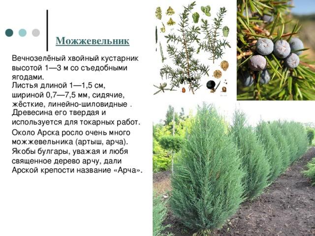 Можжевельник Вечнозелёныйхвойный кустарник высотой 1—3м со съедобными ягодами. Листьядлиной 1—1,5см, шириной 0,7—7,5мм, сидячие, жёсткие, линейно-шиловидные . Древесина его твердая и используется для токарных работ. Около Арска росло очень много можжевельника (артыш, арча). Якобы булгары, уважая и любя священное дерево арчу, дали Арской крепости название «Арча».
