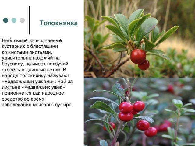 Толокнянка Небольшой вечнозеленый кустарник с блестящими кожистыми листьями, удивительно похожий на бруснику, но имеет ползучий стебель и длинные ветви . В народе толокнянку называют «медвежьими ушками». Чай из листьев «медвежьих ушек» применяется как народное средство во время заболеваниймочевого пузыря.