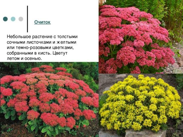 Очиток Небольшое растение с толстыми сочными листочками и желтыми или темно-розовыми цветками, собранными в кисть. Цветут летом и осенью.