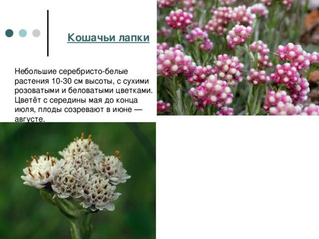 Кошачьи лапки Небольшие серебристо-белые растения 10-30 см высоты, с сухими розоватыми и беловатыми цветками. Цветёт с середины мая до конца июля, плоды созревают в июне— августе.