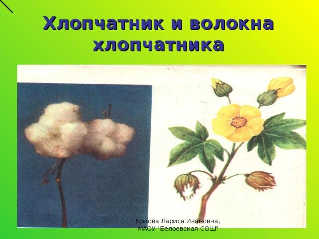 Хлопчатник и волокна хлопчатника Яркова Лариса Ивановна, МАОУ