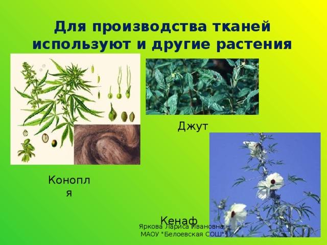 Для производства тканей используют и другие растения Джут Конопля Кенаф Яркова Лариса Ивановна, МАОУ