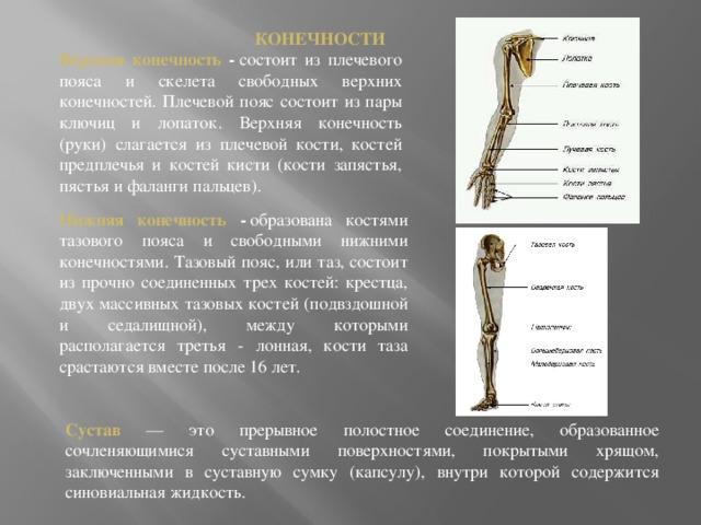 КОНЕЧНОСТИ Верхняя конечность - состоит из плечевого пояса и скелета свободных верхних конечностей. Плечевой пояс состоит из пары ключиц и лопаток. Верхняя конечность (руки) слагается из плечевой кости, костей предплечья и костей кисти (кости запястья, пястья и фаланги пальцев). Нижняя конечность - образована костями тазового пояса и свободными нижними конечностями. Тазовый пояс, или таз, состоит из прочно соединенных трех костей: крестца, двух массивных тазовых костей (подвздошной и седалищной), между которыми располагается третья - лонная, кости таза срастаются вместе после 16 лет. Сустав — это прерывное полостное соединение, образованное сочленяющимися суставными поверхностями, покрытыми хрящом, заключенными в суставную сумку (капсулу), внутри которой содержится синовиальная жидкость.