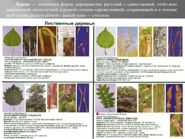 Дерево — жизненная форма деревянистых растений с единственной, отчётливо выраженной, многолетней, в разной степени одревесневшей, сохраняющейся в течение всей жизни, разветвлённой главной осью — стволом.