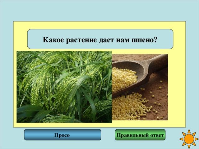 Какое растение дает нам пшено? Правильный ответ Просо