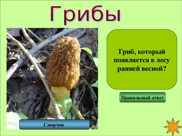 Гриб, который появляется в лесу ранней весной? Правильный ответ Сморчок