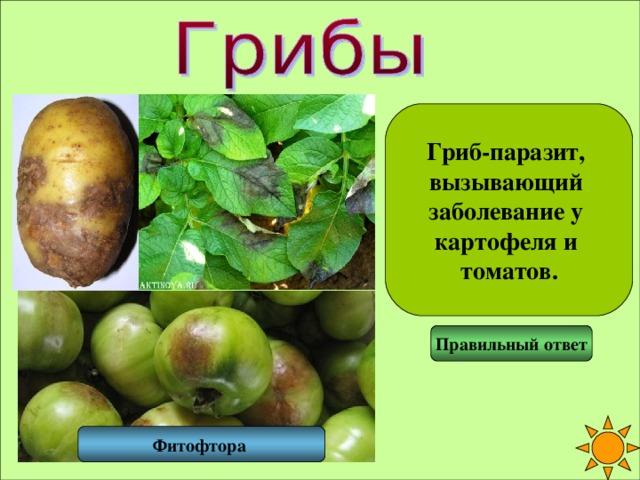 Гриб-паразит, вызывающий заболевание у картофеля и томатов. Правильный ответ Фитофтора