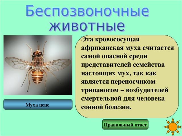 Эта кровососущая африканская муха считается самой опасной среди представителей семейства настоящих мух, так как является переносчиком трипаносом – возбудителей смертельной для человека сонной болезни.  Муха цеце Правильный ответ