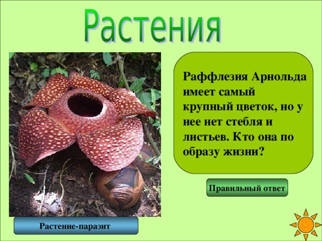 Раффлезия Арнольда имеет самый крупный цветок, но у нее нет стебля и листьев. Кто она по образу жизни? Правильный ответ Растение-паразит