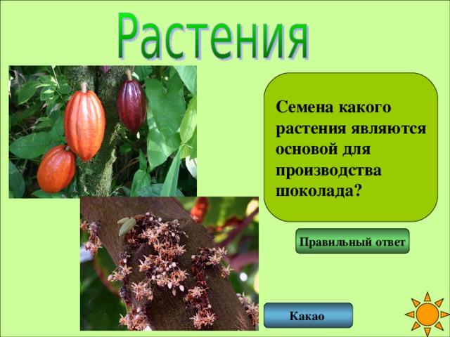 Семена какого растения являются основой для производства шоколада? Правильный ответ Какао