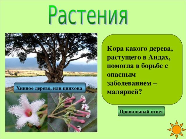 Кора какого дерева, растущего в Андах, помогла в борьбе с опасным заболеванием – малярией? Хинное дерево, или цинхона  Правильный ответ